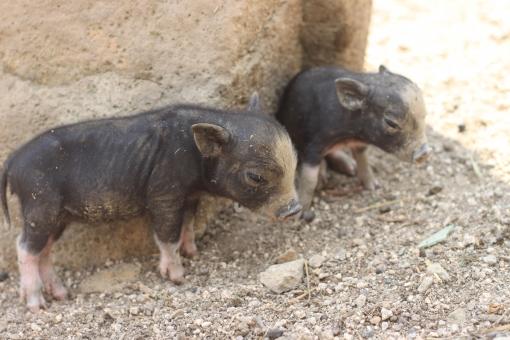 ブタ 子ブタ 黒ブタ 豚 子豚 黒豚 兄弟 動物 牧場 仔豚 仔ブタ