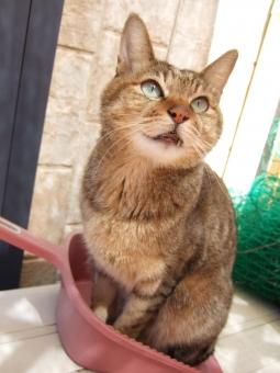 猫 ネコ ねこ CAT ちりとり ゴミ 掃除 お手伝い ベランダ 座り込む 見上げる 目を開けた 顔 表情 ちり取り 家猫 飼い猫 室内猫 構ってほしい かわいい 可愛い おもしろい 面白い ペット どうぶつ 動物 ちゃこ 日差し