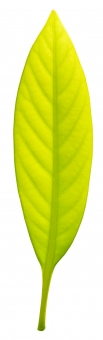 葉っぱの切り抜き素材の写真