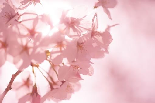 桜 春 花 フラワー 背景 さくら サクラ ピンク 桃色 満開 風景 自然 屋外 木 快晴 枝 花びら 樹木 樹 幹 植物 開花 季節 四季 日本 景色 花見 アップ 接写