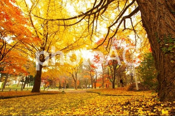 北大の黄葉とイチョウ並木の写真