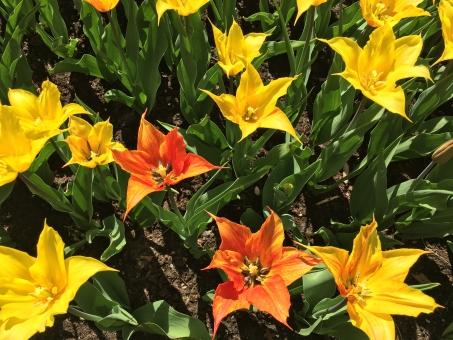 オランダ キューケンホフ公園 満開の花の写真