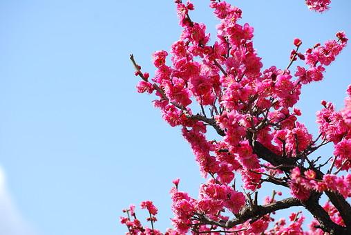 梅 花 風景 植物 かわいい 美しい 明るい 青空 屋外 晴れ アップ 冬 桃色 満開 和 複数 綺麗 上品 咲く 華やか 可憐 空バック 日本的 風情 風流 情緒 薄紅色 空背景