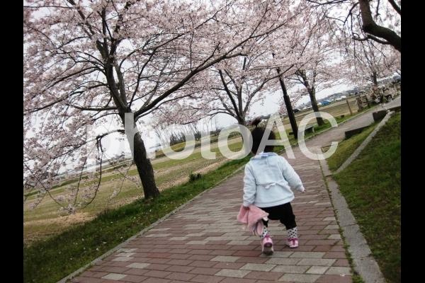 桜並木をお散歩の写真