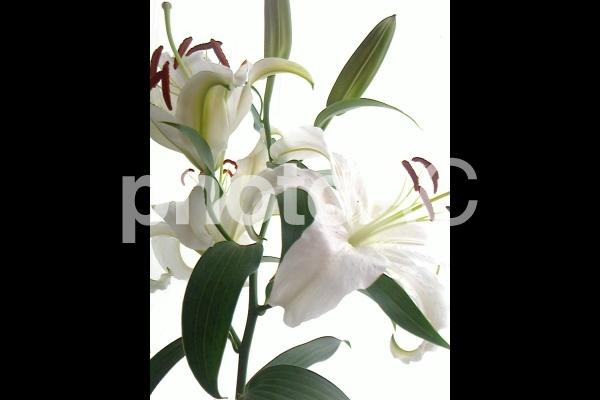 百合の花と開くつぼみ5の写真
