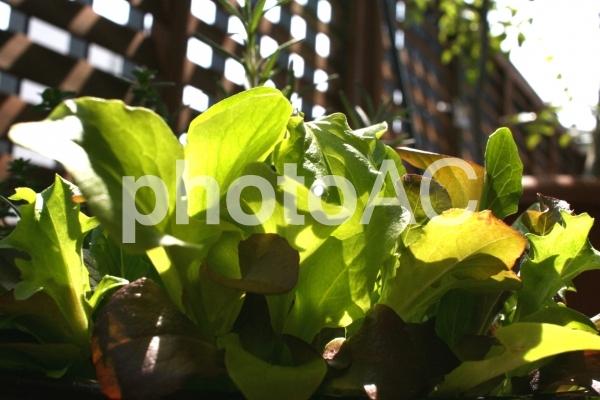 家庭菜園のベビーリーフの写真