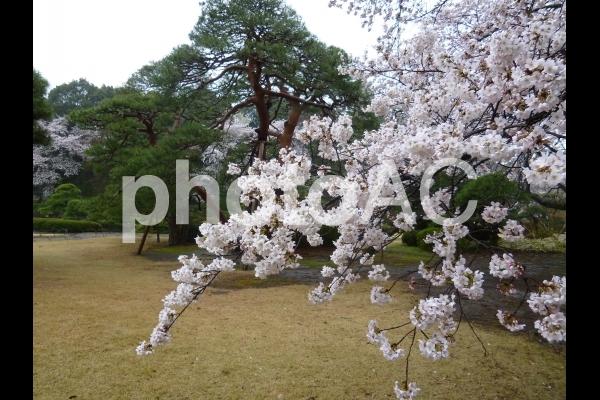 Sakura8の写真