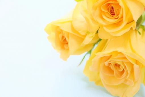 「黄色いバラ」の画像検索結果