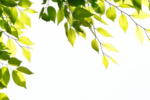 新緑 しんりょく 3月 4月 5月 6月 葉 葉っぱ 緑 黄緑 みどり きみどり 自然 綺麗 爽やか 見上げる 人気 植物 樹木 新鮮 森 林 公園 グリーン 暖かい 季節 若草色 若葉 木洩れ日 木漏れ日 こもれび 明るい 気分 最高 気持ちが良い 空気 クリーン 森林浴 背景 テクスチャ 壁紙 バックグラウンド ヒーリング リラックス 癒し マイナスイオン 初夏 夏 春 リラクゼーション 涼しい セラピー エコ 景色 eco アップ 接写 至近距離