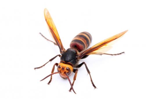 蜂 ハチ オオスズメバチ スズメバチ スズメ蜂 はち 大雀蜂 雀蜂 大きい 昆虫 虫 むし ムシ 生物 生き物 死 死骸 刺す 針 毒針 毒 目 足 複眼 触角 黄色 茶色 自然 ネイチャー 1匹 一匹 害虫 害虫駆除 駆除 危険 注意 アップ クローズアップ マクロ 自然界 羽 羽根 白バック 白背景 スタジオ撮影 白 背景 無人