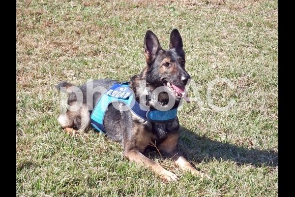 賢い軍用犬の写真