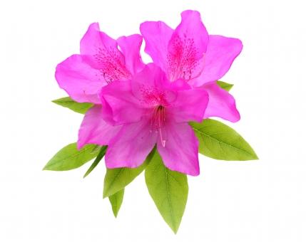 ツツジ つつじ 花 花びら 植物 葉 自然 開花 きれい 綺麗 咲く 春 春の花 さつき 初夏 4月 5月 四月 五月 ツツジ科 明るい 雄しべ 雌しべ 白 背景 赤 赤色 紫色 紫 赤紫 赤紫色 緑色 枝 小枝 クローズアップ アップ 鮮やか あざやか 白バック 白背景 スタジオ スタジオ撮影 屋内 日本 余白 無人 人物なし コピースペース