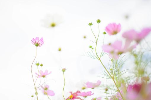 秋の風景 コスモス アキザクラ 秋桜 コスモス畑 花畑 花園 空 白 桃色 ピンク 緑 植物 花 草花 一面 満開 散歩 散策 自然 風景 景色 真心 のどか 鮮やか 華やか 美しい 綺麗 明るい 余白 空間 ボケ味 ピントぼけ