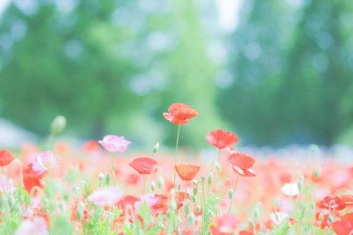 リラックス 植物 健康 明るい 花 赤 元気 レジャー 緑 風景 景色 花畑 春 観光 5月 真っ赤 自然 癒し 6月 畑 初夏 季節 ポピー けしの花 けし ポピーの花 ポピー畑