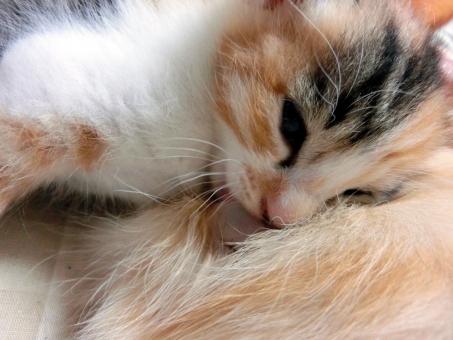 母乳を飲む子猫6の写真