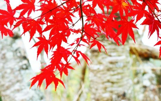 もみじ モミジ 椛 紅葉 葉 もみじの葉 椛の葉 モミジの葉 木の葉 木 真っ赤 深紅 赤い 赤 紅い 紅 赤色 紅色 red レッド 十一月 11月 秋 秋色 autumn 手 掌 手の平 もみじの手 モミジの手 染まる 風景 景色 景観 壁紙 背景 テクスチャ 素材 キレイ 綺麗 きれい 美しい 秋の景色 秋の代表 秋の紅葉 華やか 鮮やか 艶やか くっきり 紅い葉 赤い葉 葉っぱ リーフ leaf 初秋