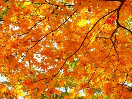 紅葉 モミジ もみじ 楓 カエデ 葉 植物 秋 赤 黄色 オレンジ 橙 自然 風景 背景 枝