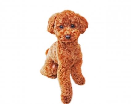 トイプードル全身 トイプードル トイプー プードル 切り抜き 白背景 コラージュ 雑貨 ポストカード 白バック 素材 仔犬 犬 子犬 ペット 愛犬