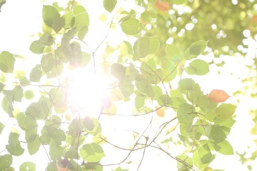 葉 緑  新緑  日本  自然 植物 屋外 壁紙 背景 背景素材 バックグラウンド 光  環境 エコ   さわやか 爽やか 初夏 森 森林 木  木々 葉っぱ 枝 眩しい まぶしい 木漏れ日 こもれび