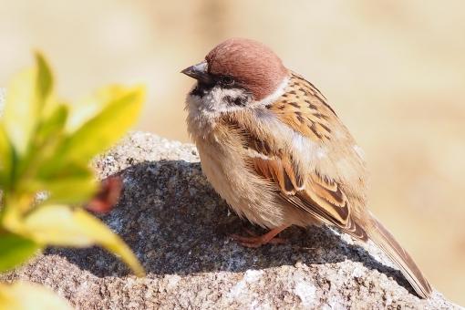雀に関する写真写真素材なら写真ac無料フリーダウンロードok