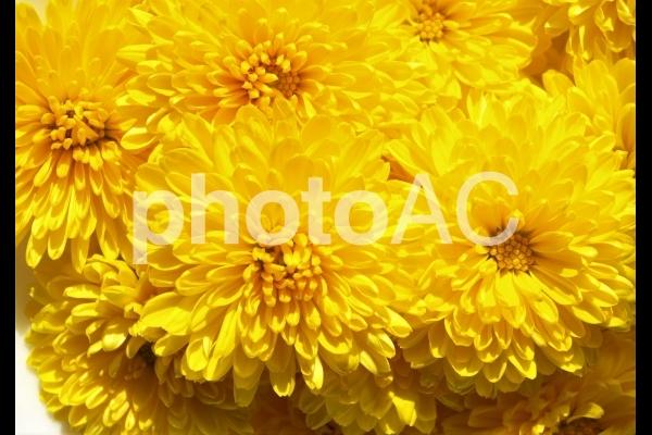 食用菊、エディブルフラワーの写真