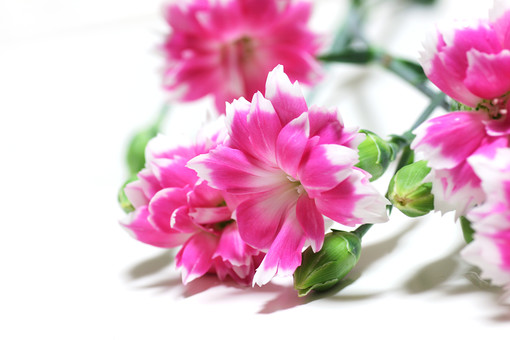 カーネーション ピンク 花 無垢で深い愛 女性の愛 熱愛 美しいしぐさ 植物 フラワー 種子植物 花弁 花びら 生花  葉 葉っぱ 白背景 白バック ホワイトバック 4月 5月 6月 7月 9月 10月 ピンクの花 桃色の花