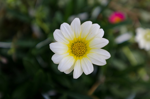 菊 白い菊 キク 花 はな 植物 草花 自然 接写 クローズアップ アップ 花びら 茎 葉 ぼかし 園芸 ガーデニング 庭 栽培 自生 野生 開花 満開 鮮やか 華やか