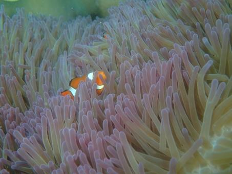 クマノミ 水中 魚 イソギンチャク ダイビング グレートバリアリーフ オーストラリア 世界遺産 水族館 野生 海 ダイビング ダイバー 潜水 グレート バリア リーフ 透明 水 野生 ニモ