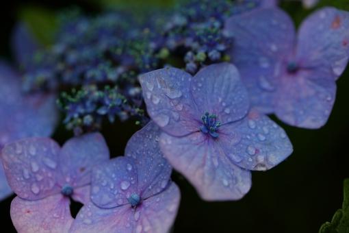 花 植物 6月 梅雨 紫陽花 あじさい アジサイ 紫 青 湿度 雨 額 マクロ 余白 湿気 湿り気 暗い 水滴 横位置