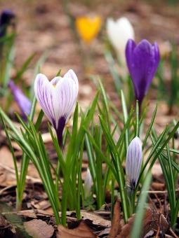 クロッカス ガーデニング 花サフラン 春サフラン サフラン 春の花 早春 アヤメ科 耐寒性 球根 球根植物 観賞 植物 花