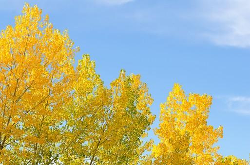 黄色く紅葉した木56の写真