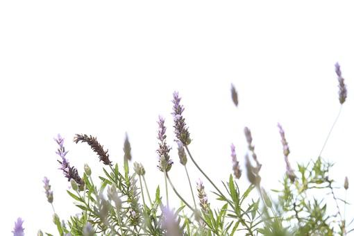 花 お花 春 フラワー 背景 植物 バックグラウンド きれい 背景素材  咲く  風景 自然 明るい   屋外  ラベンダー ハーブ