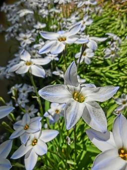 ハナニラ 花韮 花 白 可憐 咲く 開花 アップ 植物 アート撮影 ニラの花 にらの花 ホワイト ブルー 自然 日差し 風景 景色 華やか 密集