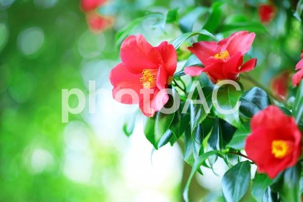 ツバキ 椿 赤い花の写真