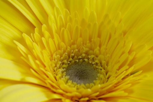 ガーベラ 黄色のガーベラ 黄色いガーベラ 花 植物 花びら 自然 春 白バック フラワーアレンジメント かわいい 明るい アップ クローズアップ マクロ 美しい 接写 きれい 綺麗 黄色