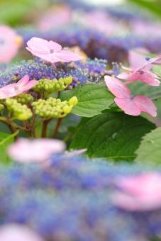 アジサイ 紫陽花 あじさい 花 植物 マクロ 拡大 余白 ピンク 紫 6月 雨 梅雨 色合い 湿度 天気 パステル 接写 縦位置 ガクアジサイ