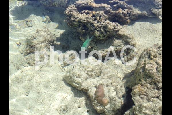 緑色の魚と沖縄のサンゴの写真