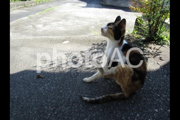 寛ぐ三毛猫の写真