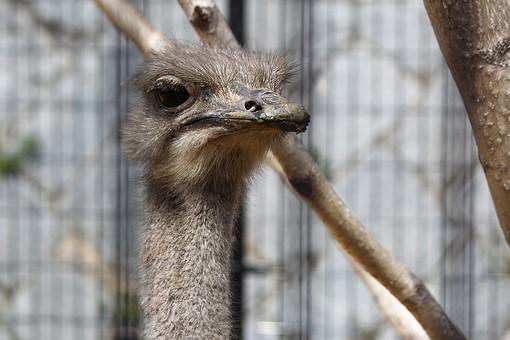 屋外 動物 生物 生き物 ダチョウ だちょう 駝鳥 鳥類 最大 顔 目 くちばし 嘴 首 鼻 毛 ポヤポヤ 滑稽 表情 飛べない 臆病 興味深々 見る じっと見る まつ毛