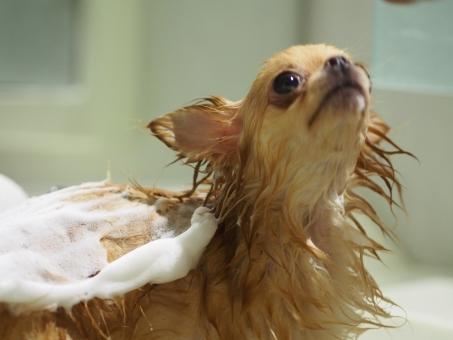 犬 チワワ シャンプー お風呂 泡 濡れ犬