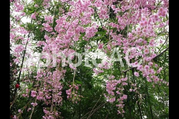 しだれ桜1の写真