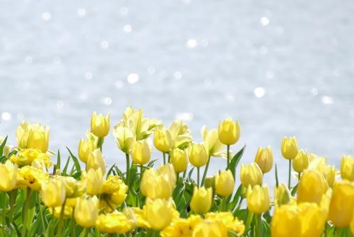 バックグラウンド テクスチャ テクスチャー さわやか 爽やか イメージ テキストスペース コピースペース 植物 かわいい 可愛い 白 優しい やさしい ソフト 柔かい やわらかい 美容 チューリップ 公園 水辺 水面 緑 四月 ポピー 春 お花畑 お花 自然 バック 華やか 景色 風景 素材 背景写真 4月 5月 初夏 鮮やか 色鮮やか 彩り 屋外 綺麗 一面 壁紙 花畑 花 背景 背景素材 明るい 黄色 群生 光 キラキラ