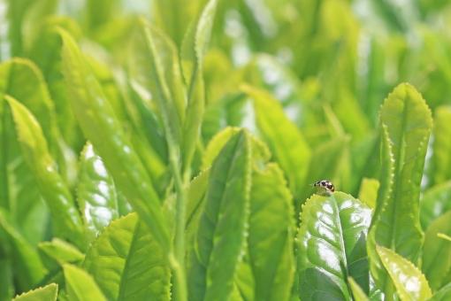 テントウムシ 茶 新茶 新芽 葉 若葉 若芽 てんとうむし 煎茶 日本茶 緑茶 greentea tea green 緑 新緑 八十八夜