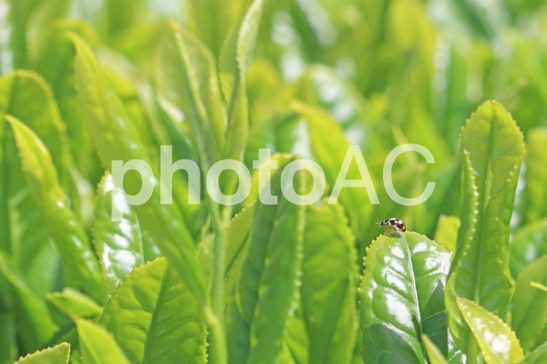 テントウムシと茶の新芽の写真