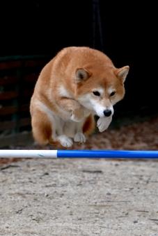 柴犬・ジャンプの写真
