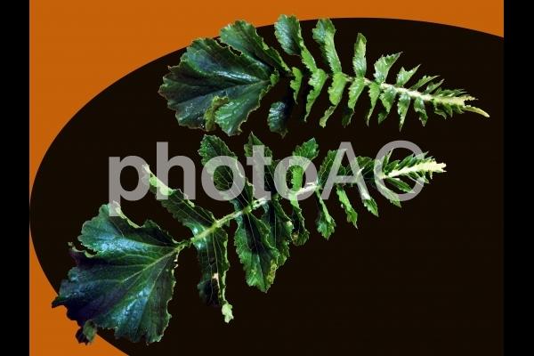 大根の葉 切り抜きの写真