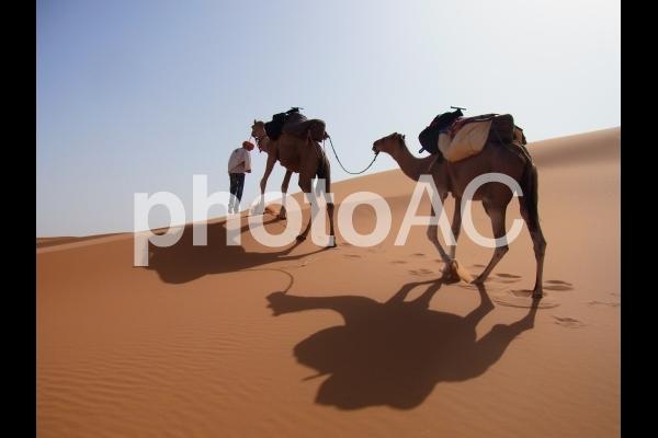 ラクダの写真