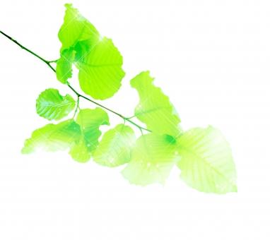 ブナ ぶな 山毛欅 山毛欅林 ブナ林 ぶな林 葉っぱ 木の葉 木葉 はっぱ 木の枝 小枝 自然 風景 木 樹木 森 植物 緑 グリーン エコ エコロジー 環境 eco eco eco 森林 森林浴 森林セラピー 癒し いやし リラックス リラクゼーション やすらぎ 安らぎ 葉 マイナスイオン 健康 美容 ワンポイント 切り抜き きりぬき 背景白 パス マスク クリッピングパス アクセント 飾り 5月 夏 緑 春 初夏 癒し きらめき キラメキ 優しさ やさしい 優しい 揺らぎ 光 輝き