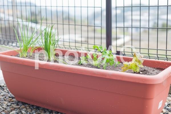 プランター栽培の写真