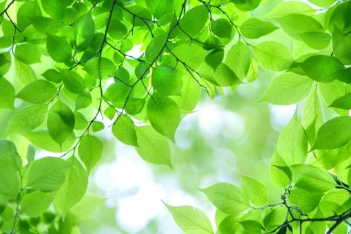 自然 風景 植物 樹木 木の葉 葉っぱ 緑の葉っぱ 新緑 若葉 新芽 森林 公園 初夏イメージ 初夏 夏 光 光透過光 季節感 暑中見舞い ポストカード 待ち受け画像 コピースペース 新鮮な 野外アウトドア 爽やかイメージ 逆光 みずみずしい 目に青葉 バックスペース 背景 テクスチャー
